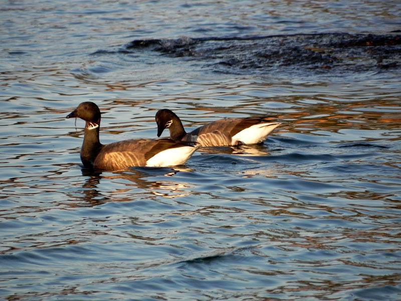 Canard / Houad / Duck Canards125