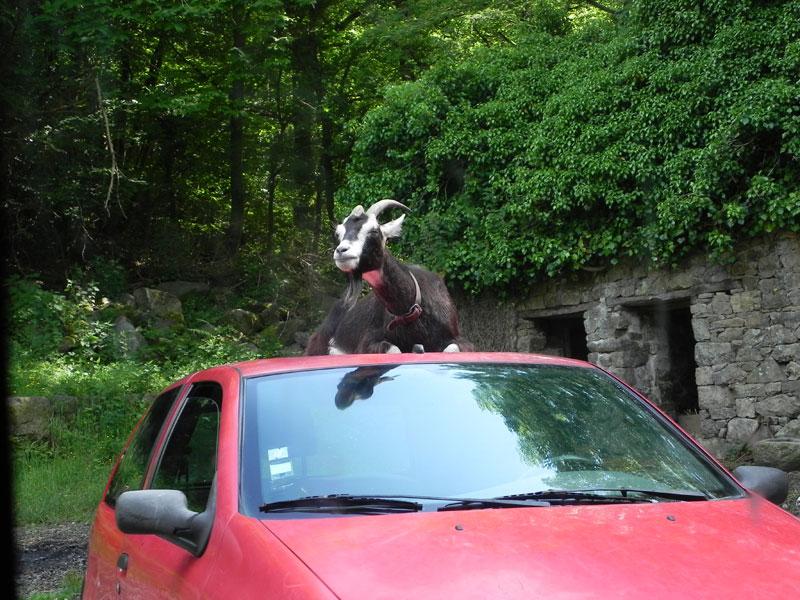 La Chèvre / Ar C'havr Chevre-toit-voiture
