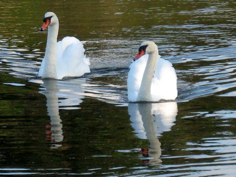 Le Cygne / An Alarc'h / The Swan Cygnes_2039