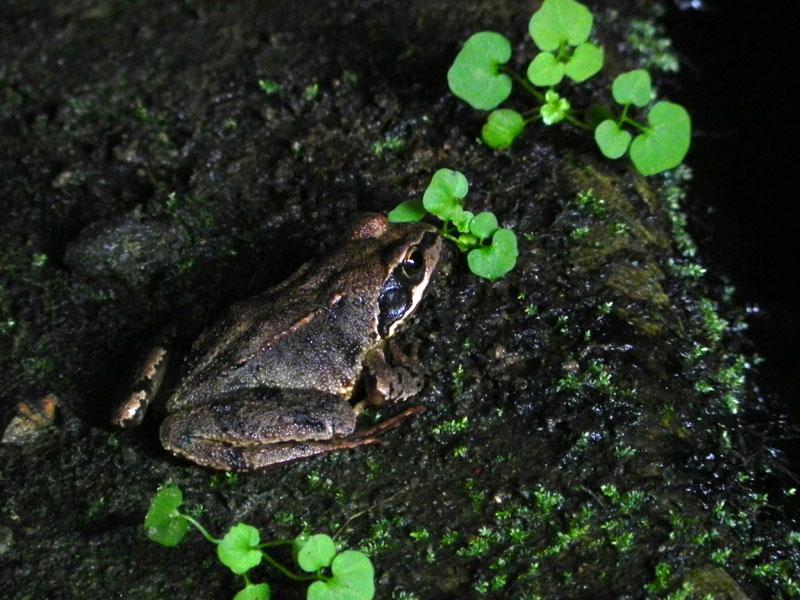 rainette, grenouille glesker/gweskle/chignan ran(ig)  Grenouille3429