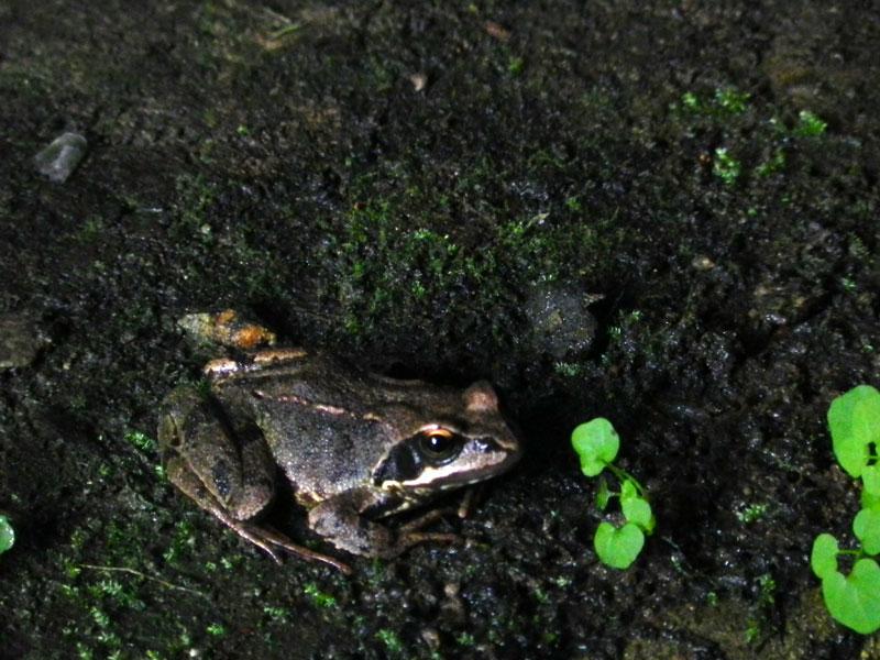rainette, grenouille glesker/gweskle/chignan ran(ig)  Grenouille3430