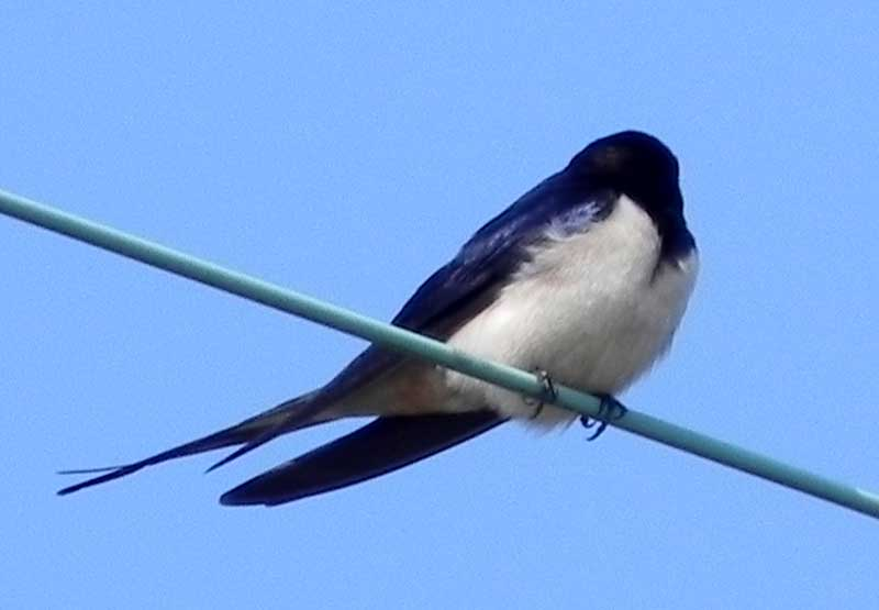 hirondelle / swallow Hirondelle-2010-04-17