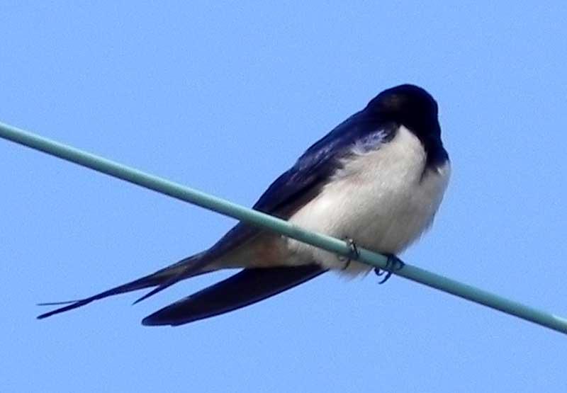 hirondelle / swallow Hirondelle-2010-04-17