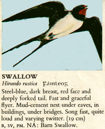 hirondelle / swallow Hirondelle-b-i