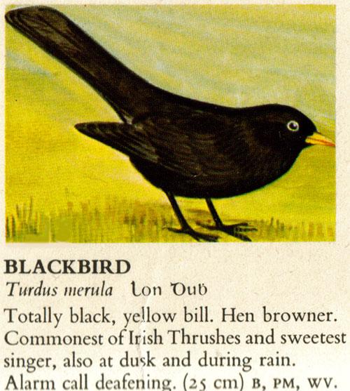Merle / Moualc'h / Blackbird Merle-irish