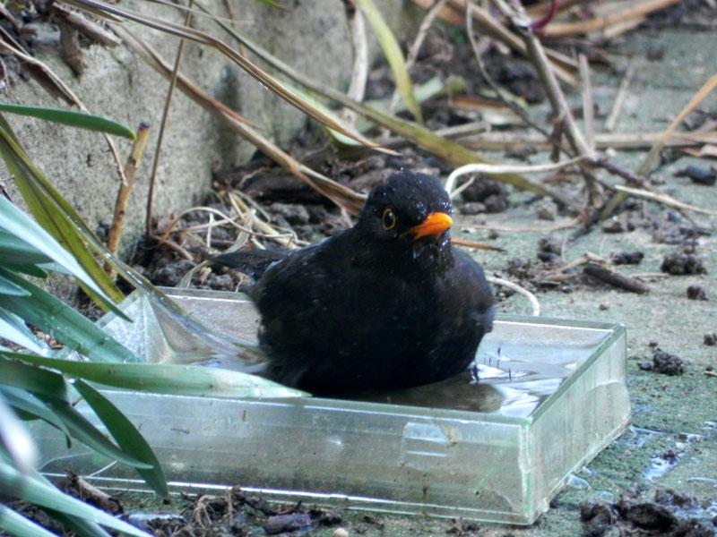 Merle / Moualc'h / Blackbird Merle-toilette-0593