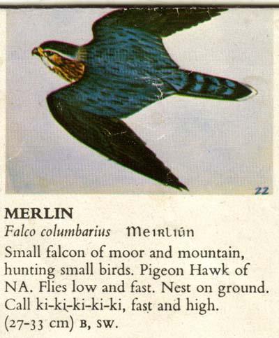 Les noms d'oiseaux (animaux à plumes) - Page 12 Merlin-b-i