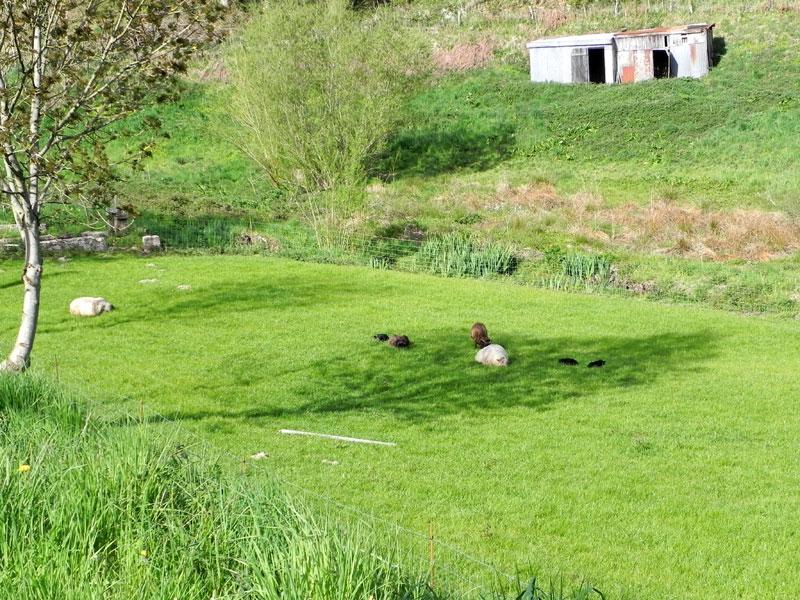 Dañvad = Mouton Moutons-callac-20100428-omb