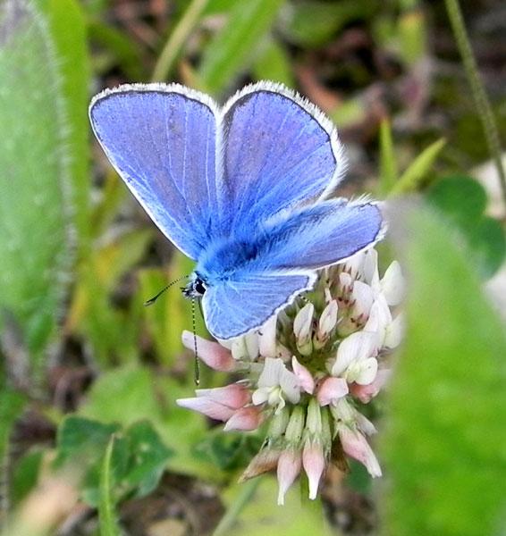 Papillon /  Balafenn - Page 2 Papillon-bleue-9565b