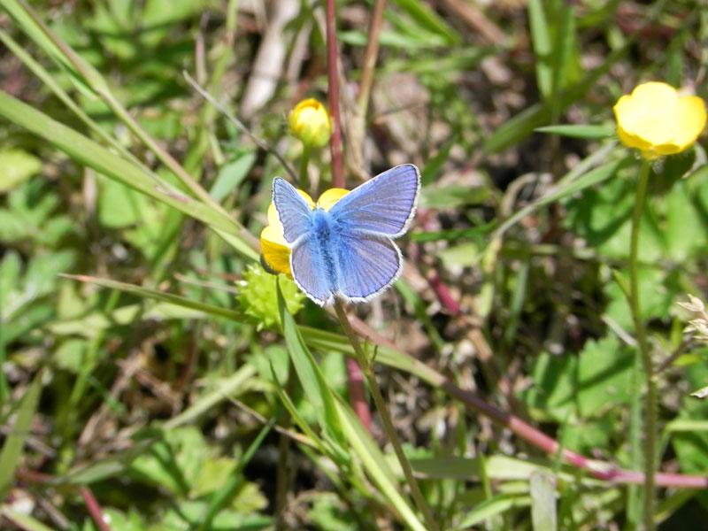 Papillon /  Balafenn - Page 2 Papillon-bleue-9573