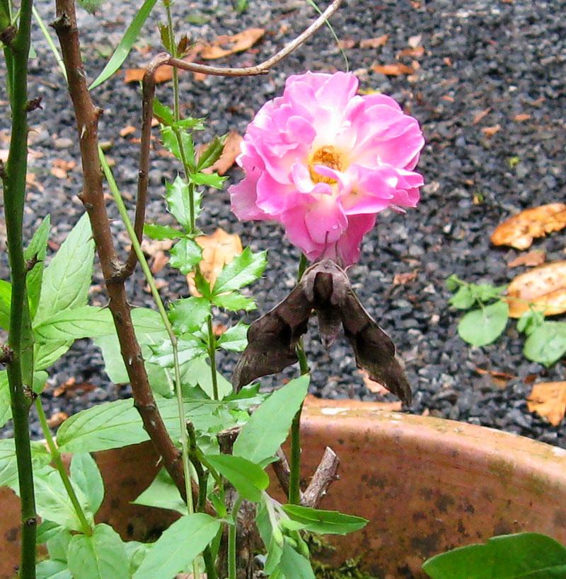 Papillon /  Balafenn Papillon-sur-rose