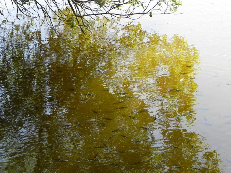 ichthyonymie bretonne noms des poissons et coquillages etc Poissons-arbre187