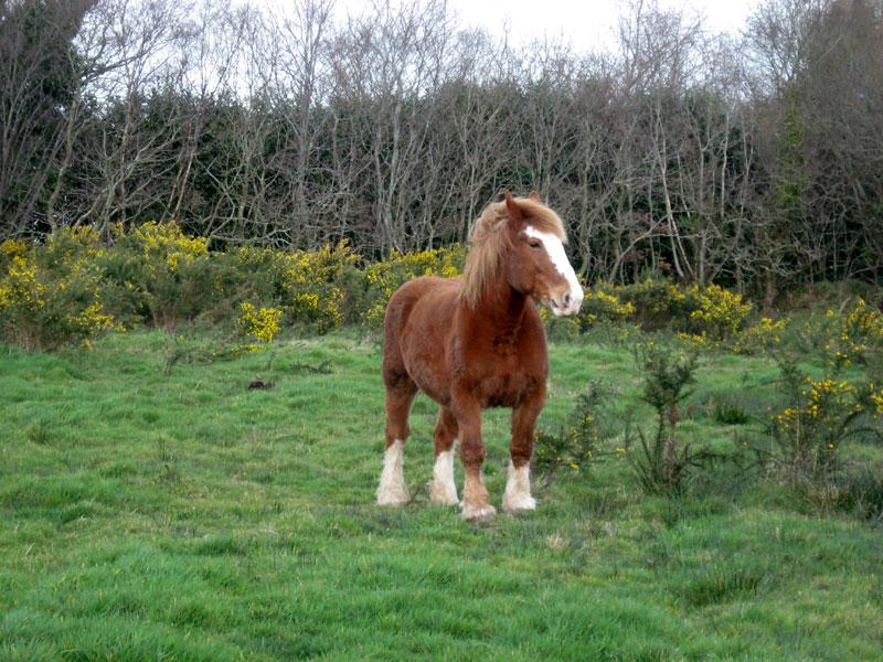 Cheval / Marc'h / Horse Pouliche-tb-03-2009