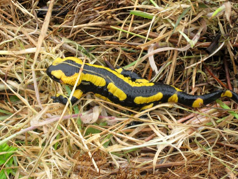 Salamandre / Sourd Salamandre-0727