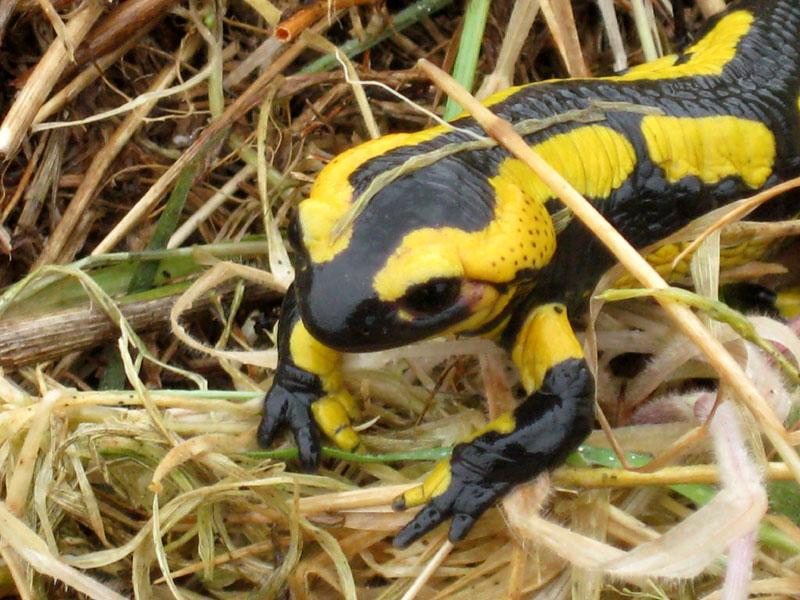Salamandre / Sourd Salamandre-0729