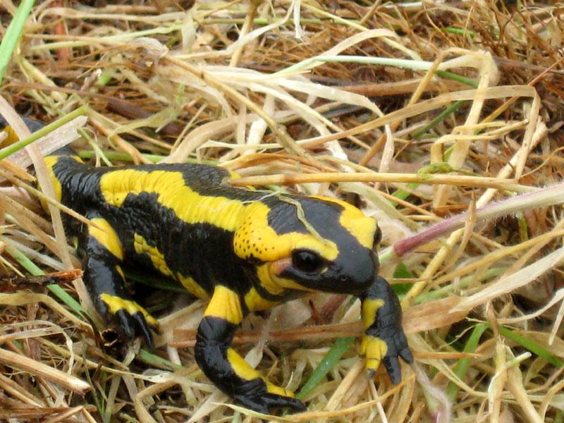 Salamandre / Sourd Salamandre-0730