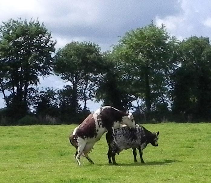 Vache / Buoc'h / Cow Vaches-montantes-493