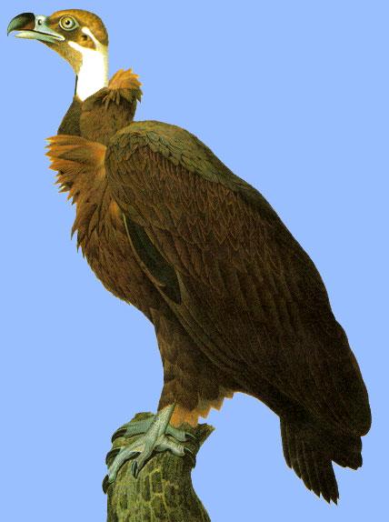 Le vautour brun d'Egypte / Bultur gell Bro Ejipt Vautour-brun-egypte