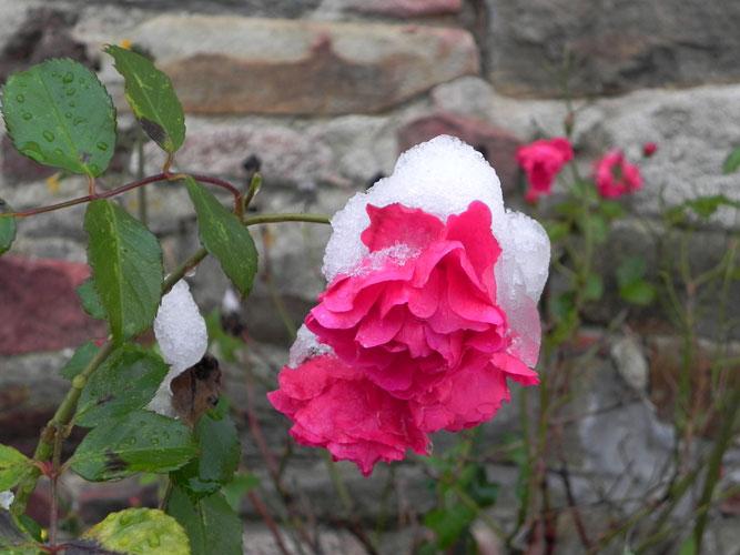 Gouañv 'zo abred 'wit bla Neige-rose