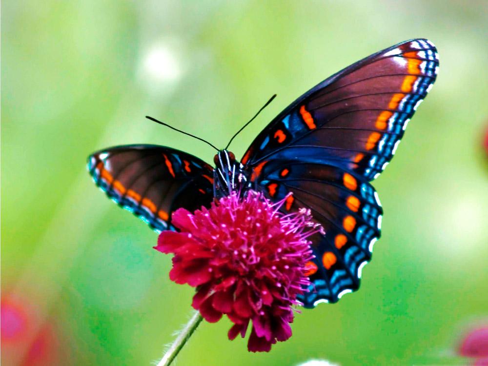 Imàgenes con animales.... - Página 6 Colores-mariposas