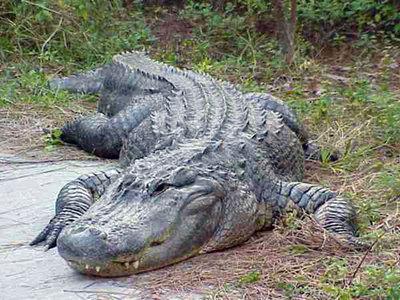 Crocodilo do Nilo VS Aligator AUPD_gator