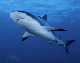 بحث عن القرش Shark