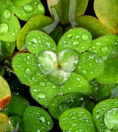 Water lily leaves form the perfect cup for a heart full of water. Does this makes you smile?