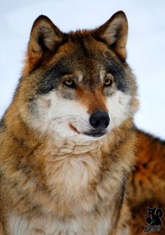 wolves - The Wolves of The Pack of Never Ending Winter - Please Adopt - 4205b121e16936bce28cf58ff3142276