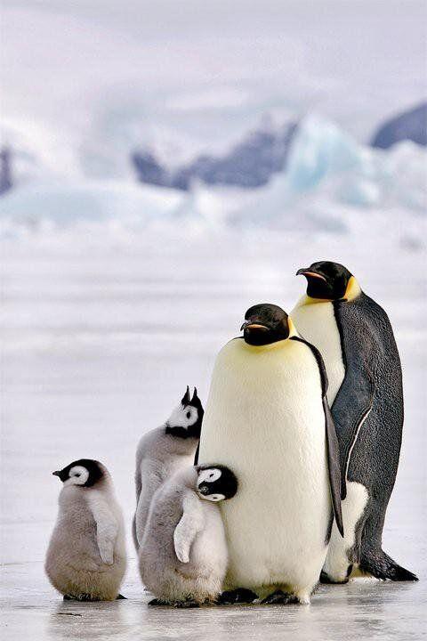 Pingvini B29bcec51ab08bb69c3bc369685a653f