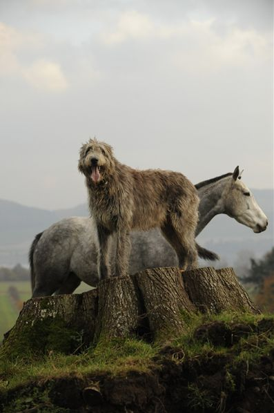 L'Irish Wolfhound Cec41b5f5fe92c80cf8d087b14a8b342