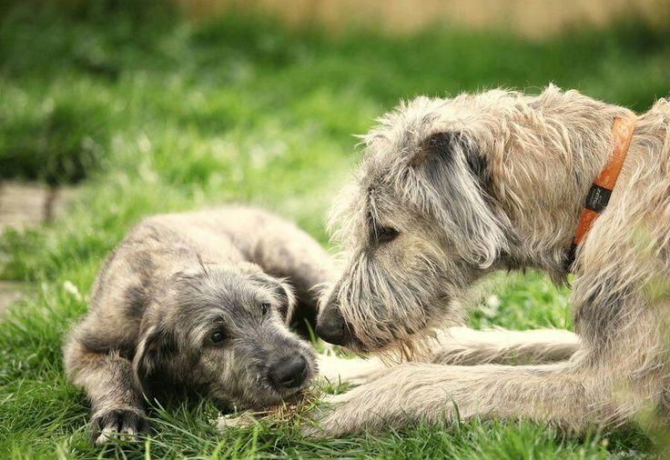L'Irish Wolfhound 0e2e44ff927266d47b659e3de303daef