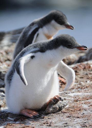 Pingvini 3559855701f488725412290a9306ccff