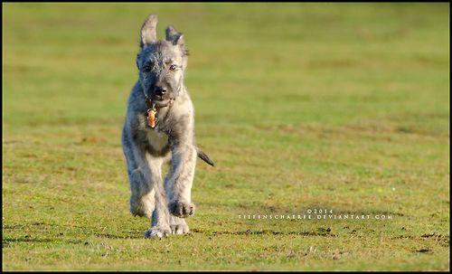 L'Irish Wolfhound 4bbd221bf403cb2846342bddb322afec