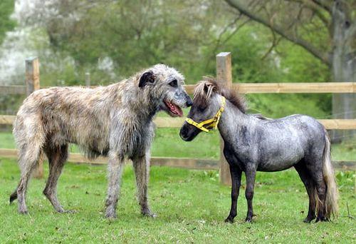 L'Irish Wolfhound 89463ce44d7d081f5ae53982057f6bd2