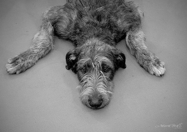 L'Irish Wolfhound 95281089179a6f8f916c861bf4861e01