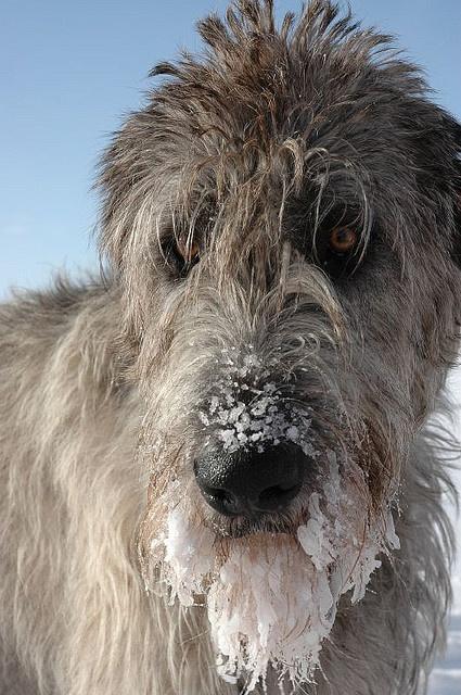 L'Irish Wolfhound A57b13a598d1cad842ca1e05f5cff3dd