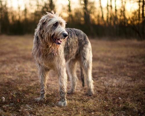 L'Irish Wolfhound C9d9a2dc9faf59293f41f96aa5f792fe
