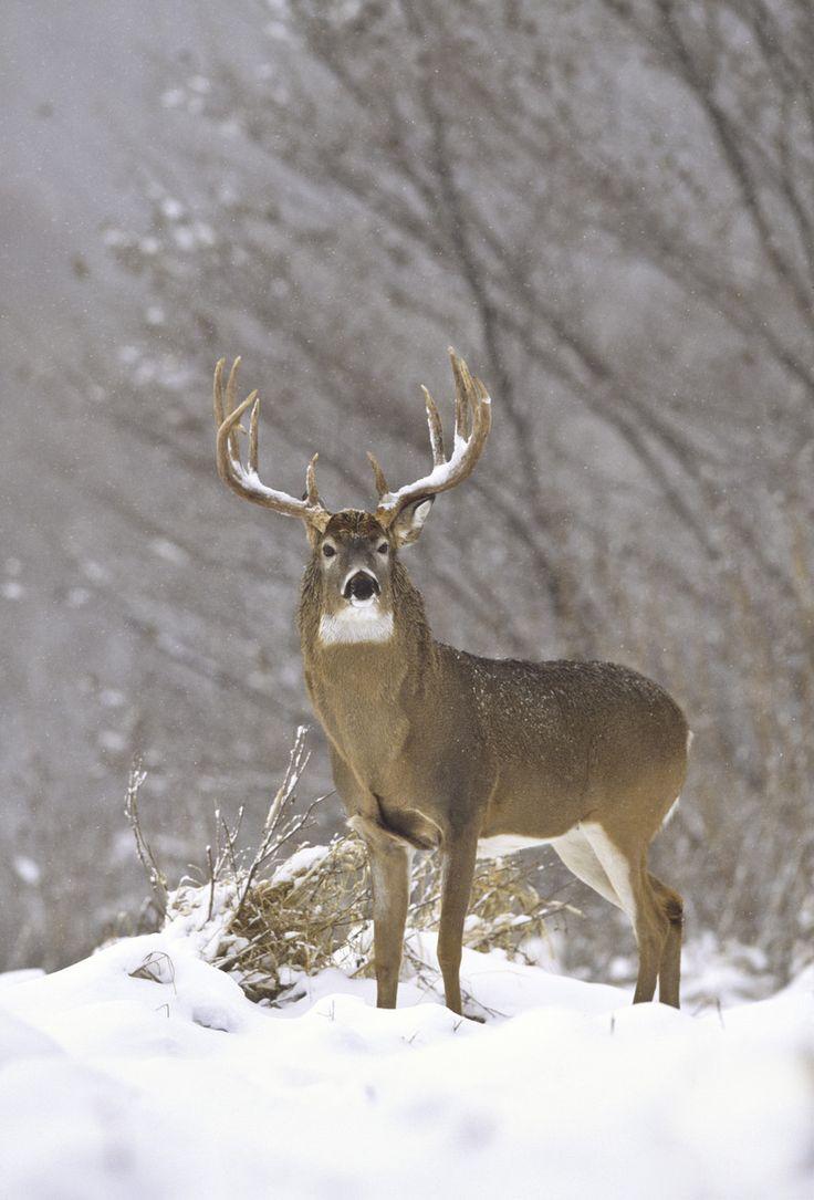 Snow king. #Whitetail #Buck #Deer