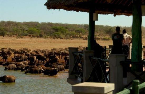Voi Wildlife Lodge Buffalos-at-the-water