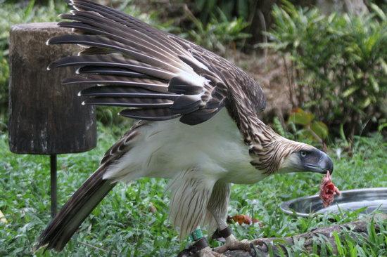 Falconiformes. Família  Acciptridae - Subfamília Buteonidade-Águias coroadas - gênero Pitecophaga jefferyi . Águia das Filipinas. Caption