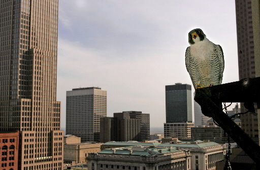 Falconiformes. sub Falconidae - sub fam Falconinae - gênero Falco - Página 2 Peregrine-falcon-clevelandjpg-4d0f45ddfa104289
