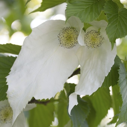 la fleur de Martin du 6 septembre trouvée par Martine Arbre-aux-mouchoirs-blanc-carre-main-12213906