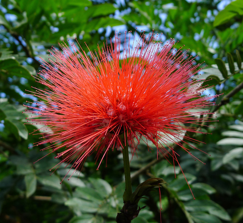 un arbuste à découvrir - ajonc - 17 septembre trouvé par Martin Calliandra-fleur-rose-rouge-main-11945739