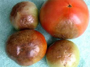 besion de tes conseils Skadia Mildiou-tomate-dr