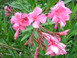 une plante - ajonc -30 décembre trouvée par Sylvie  Laurier-rose-fleurs-bouturage