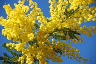 Bon Vendredi Mimosa
