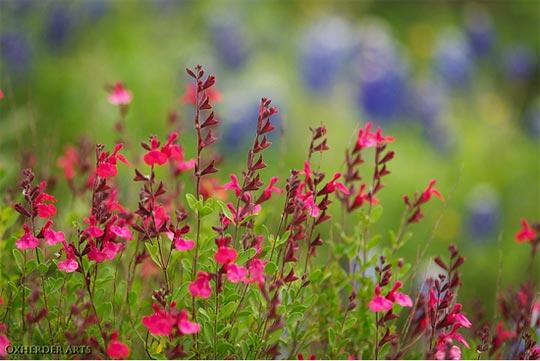 Qui ya t'il dans mon jardin de bon pour mes todons? Help besoin d'aide pour reconnaitre les plantes Sauge-microphylla-540