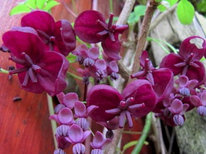 Akebia quinata 'Alba' Akebia-quinata-fleurs