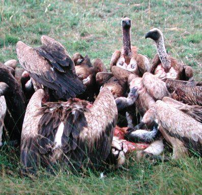 Noire Finance : La grande pompe à phynances & Le bal des vautours Cameroun-lelimination-bal-vautours-L-1