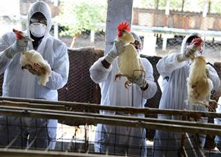 """Crossing the Bridge; Animal-to-Mankind """"zoonotic"""" or """"zoonoses"""" diseases  150422-india-bird-flu-chickens-230p_afb47ce0269a43d6badd6be3360a025a.nbcnews-ux-320-320"""
